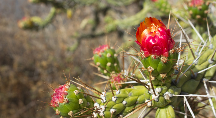 cactus, peru, hiking, flowers