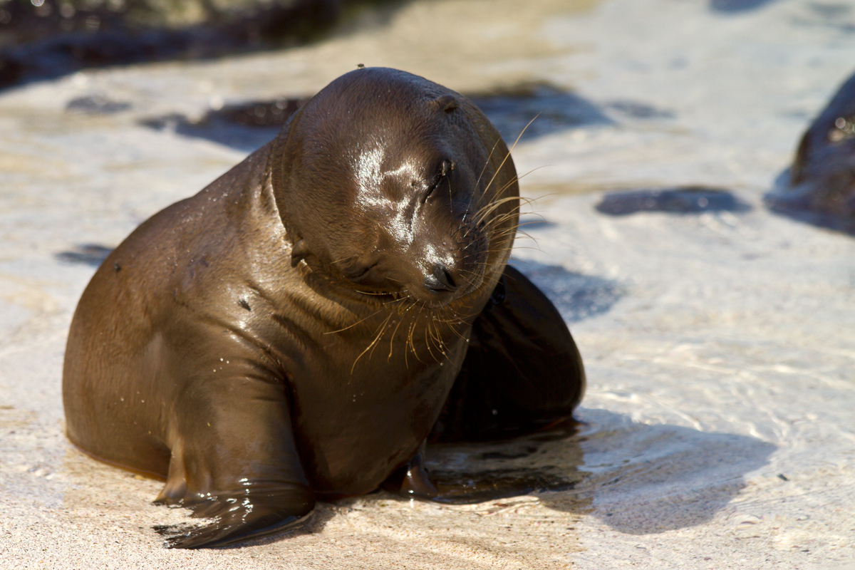 sea lion, galapagos